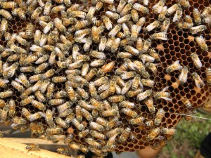 Africanized honey bees are slightly smaller than their European counterparts.